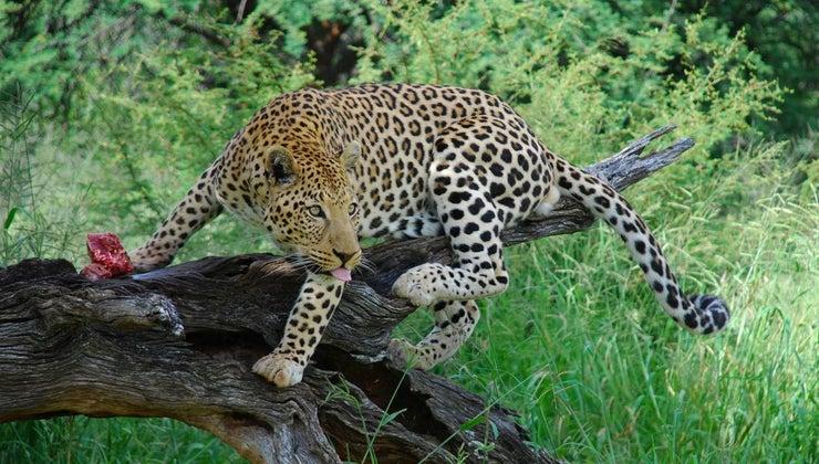 many-leopards-left-world