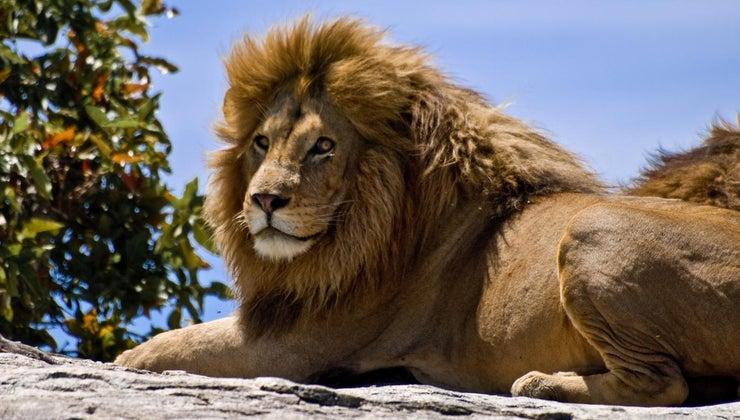 many-lions-left-world