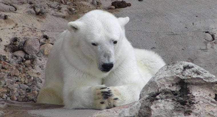 many-polar-bears-left-world