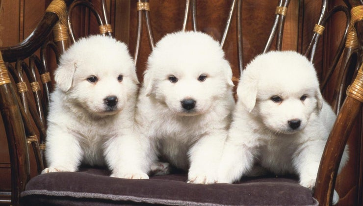 many-puppies-great-pyrenees