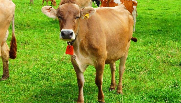 many-ribs-cow