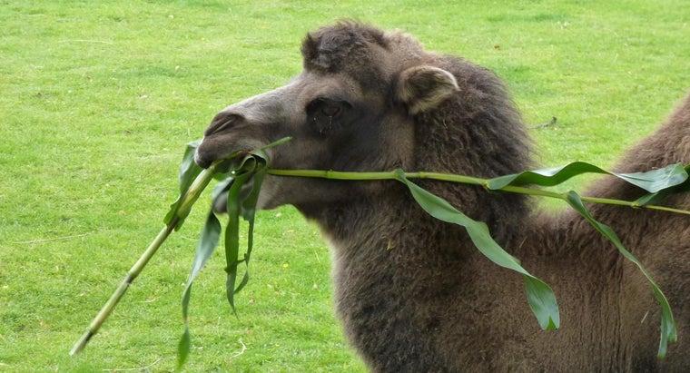 many-stomachs-camel
