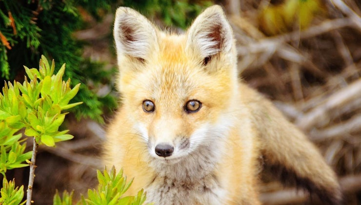 mean-fox-crosses-path