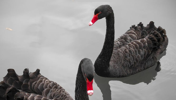 meaning-black-swan