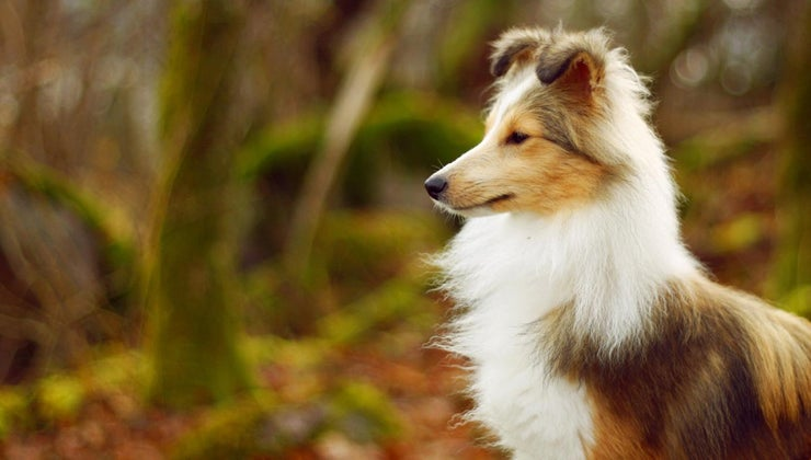 mini-collie