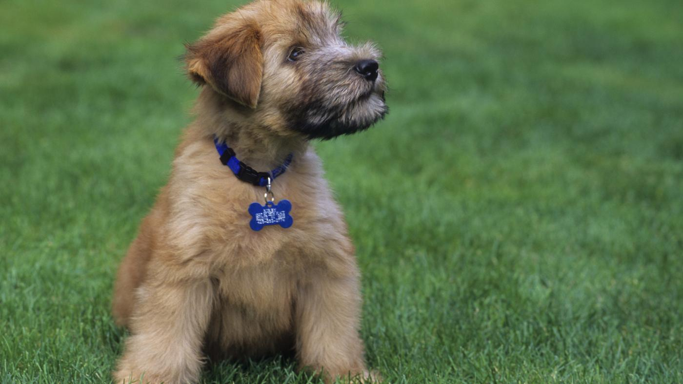 What Do Mini Wheaten Terrier Puppies