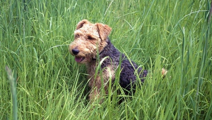 miniature-airedale-terrier