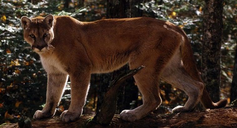 mountain-lions-climb-trees