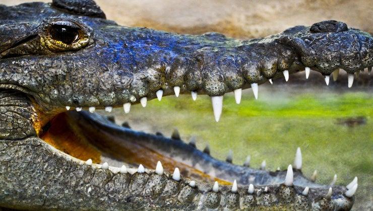 much-alligator-weigh