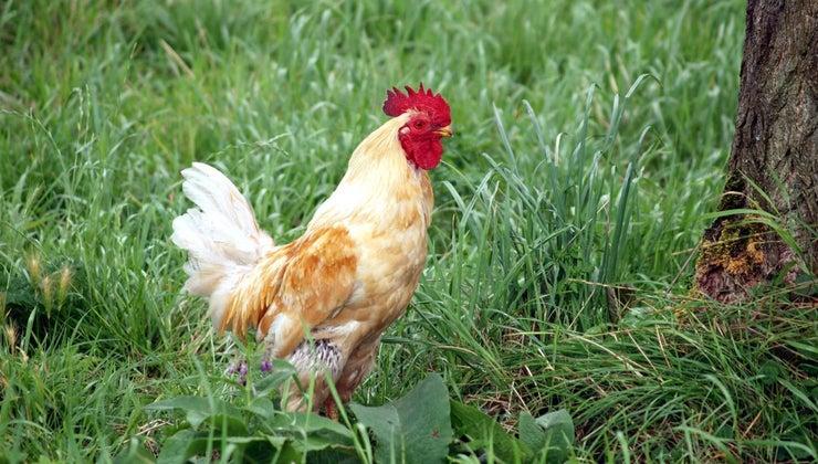 much-average-chicken-weigh