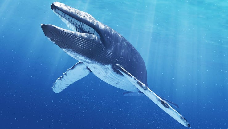 much-blue-whale-s-tongue-weigh
