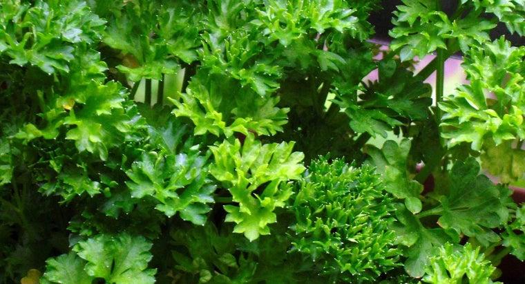 much-bunch-parsley-weigh