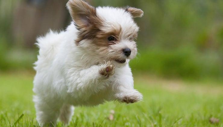much-cost-rescue-havanese-puppy
