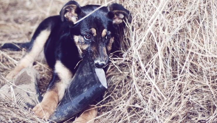 much-german-shepherd-puppies-weigh