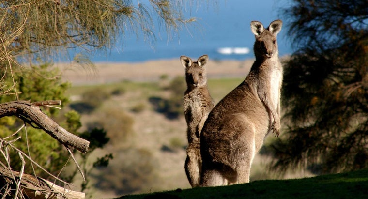 much-kangaroo-cost
