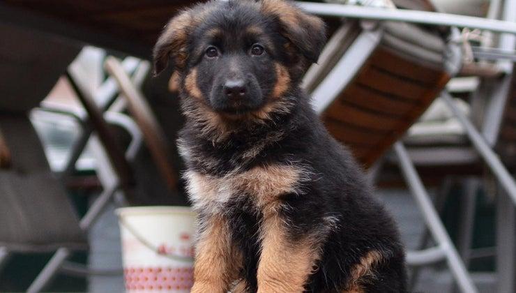much-should-feed-german-shepherd-puppy