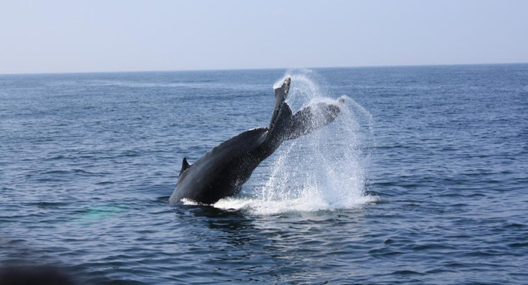 much-sperm-whale-produce