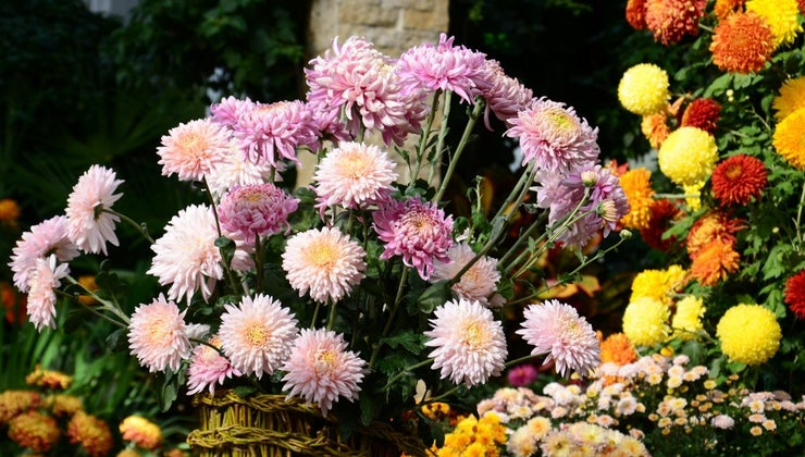 mums-poisonous-dogs