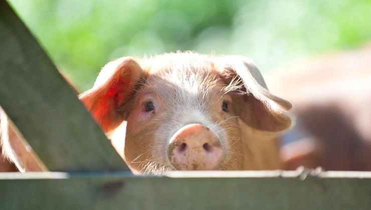 name-female-pig