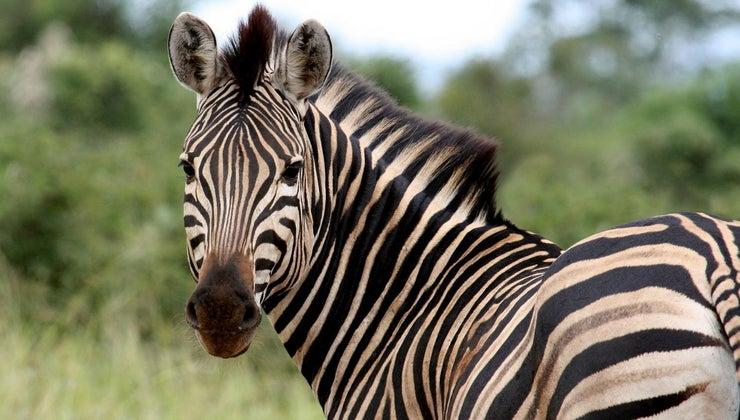 name-female-zebra