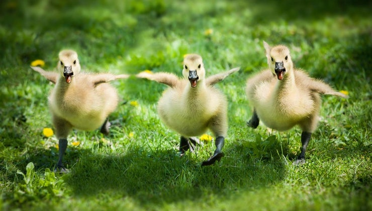 young-goose-called