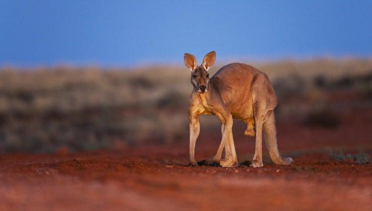 national-animal-australia