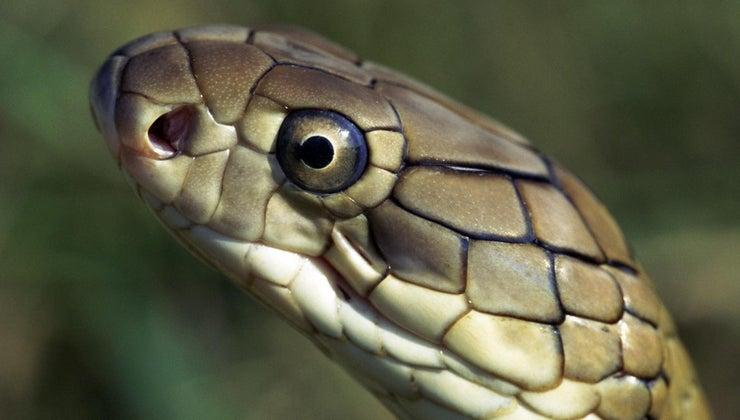 natural-enemies-king-cobra