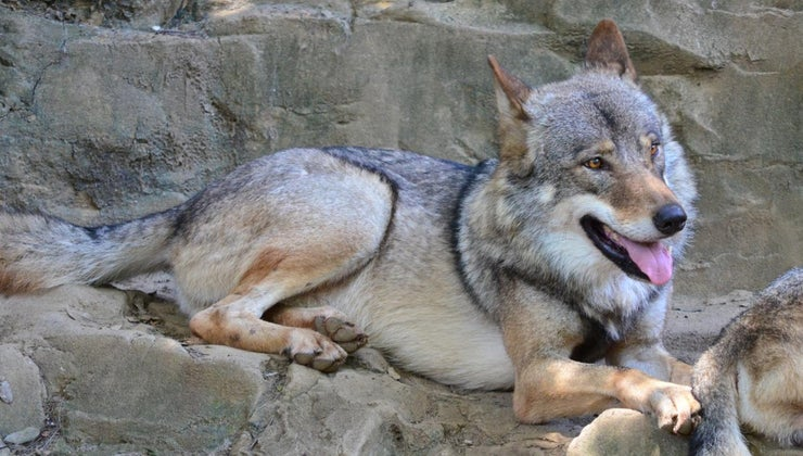 natural-habitat-gray-wolf