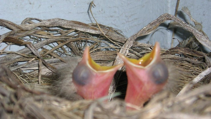 newborn-birds-eat