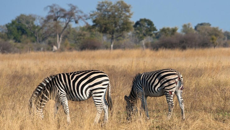 niche-african-zebra