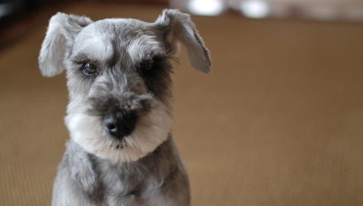 non-shedding-dog-breeds