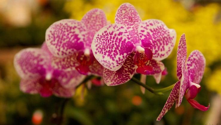 orchids-poisonous-cats