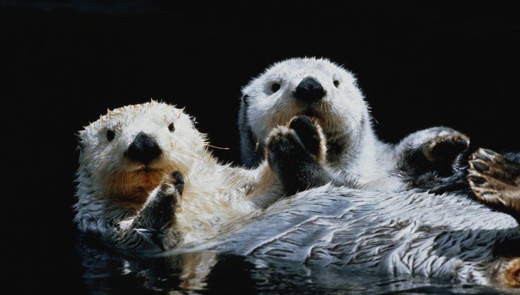 otters-hold-hands