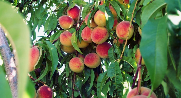 peaches-grow