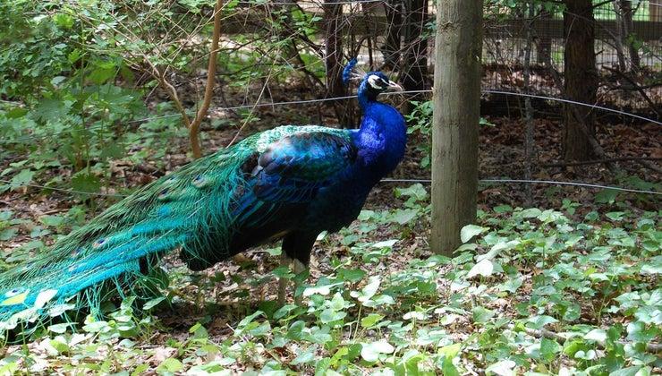 peacocks-live