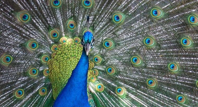 peacocks-mate