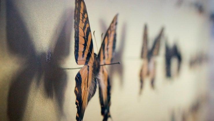 person-studies-butterflies-moths-called
