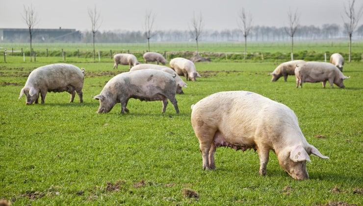 pigs-live