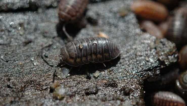 pill-bugs-eat