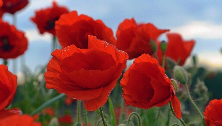 poppy-symbolize