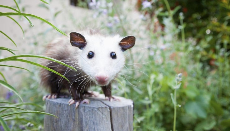 possums-eat