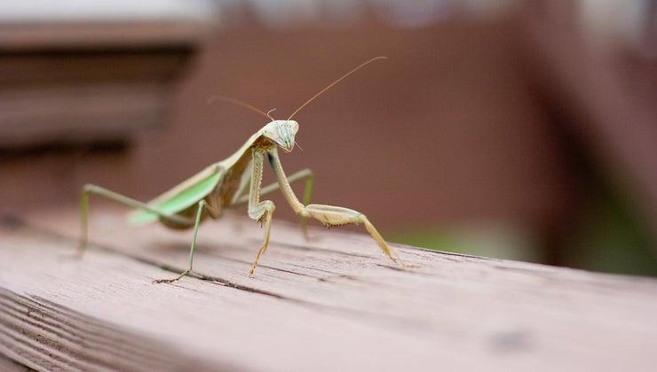 praying-mantis-good-luck