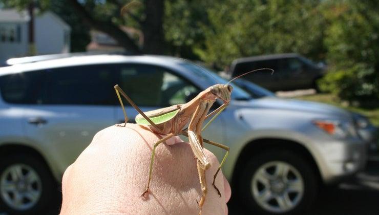 praying-mantises-poisonous