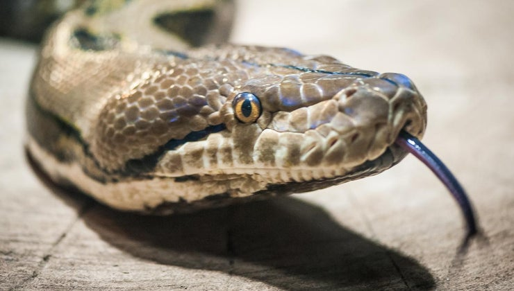 predators-snakes