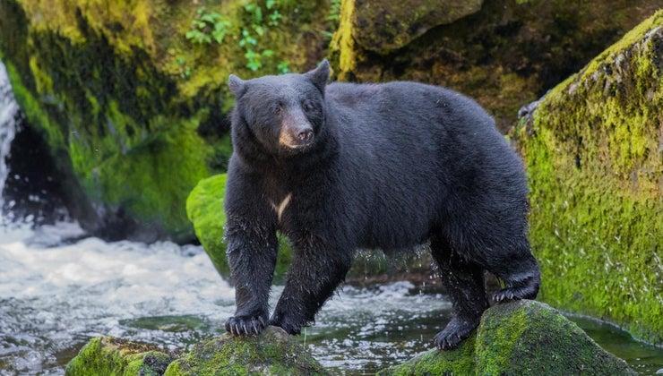 prey-predators-black-bears