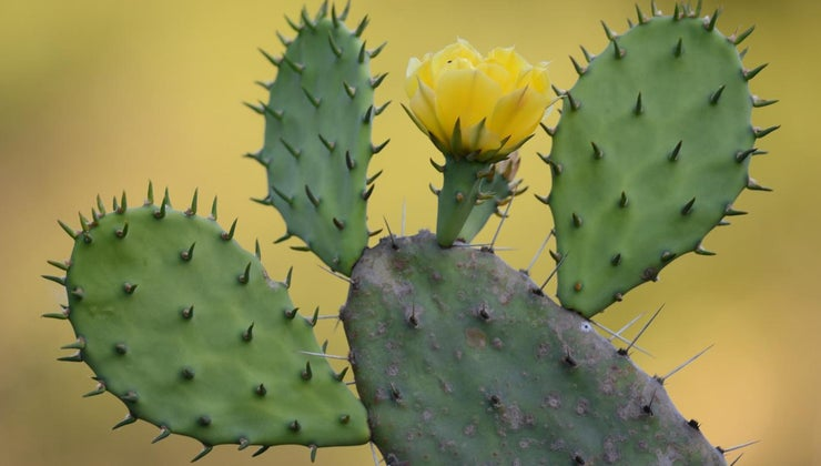 prickly-pear-cactus-adapted-desert-life