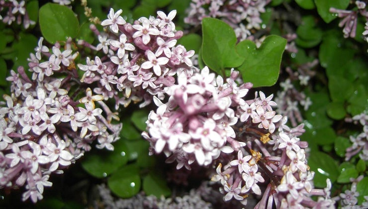 prune-dwarf-lilac-bushes