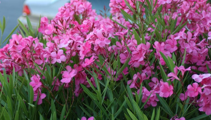 prune-oleanders