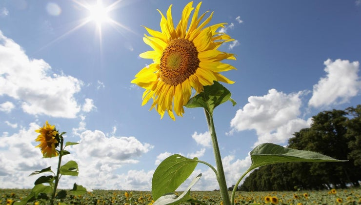 prune-sunflowers