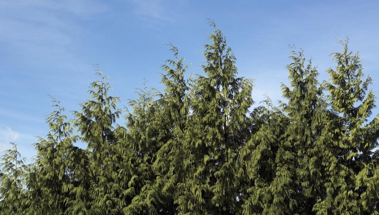 prune-trim-leyland-cypress
